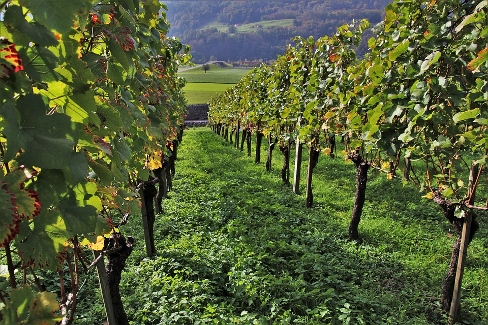 vineyard-3757673-960-7201